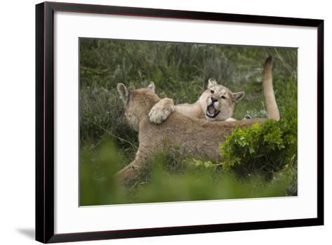 Wild Puma in Chile-Joe McDonald-Framed Art Print