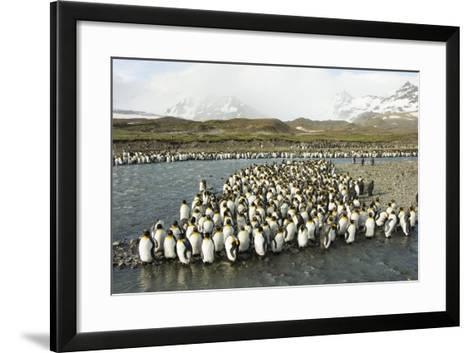 King Penguin Colony-Joe McDonald-Framed Art Print