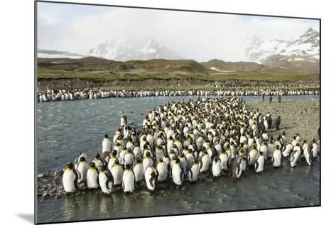 King Penguin Colony-Joe McDonald-Mounted Photographic Print