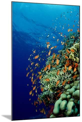 Schooling Lyretail Anthias and near a Coral Reef. (Pseudanthias Squamipinnis) Red Sea-Reinhard Dirscherl-Mounted Photographic Print