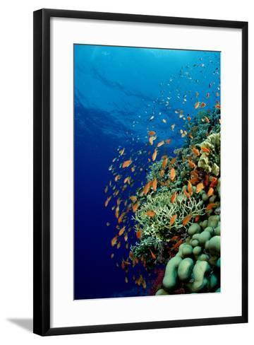 Schooling Lyretail Anthias and near a Coral Reef. (Pseudanthias Squamipinnis) Red Sea-Reinhard Dirscherl-Framed Art Print