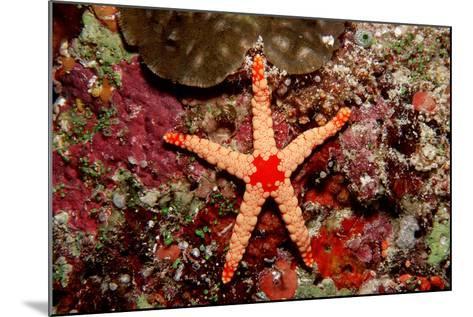 Red-Mesh Starfish (Fromia Monilis), Indian Ocean.-Reinhard Dirscherl-Mounted Photographic Print