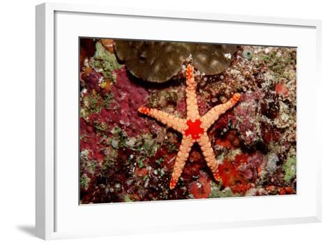 Red-Mesh Starfish (Fromia Monilis), Indian Ocean.-Reinhard Dirscherl-Framed Art Print