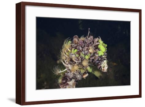 Mussels in Jellyfish Lake, Micronesia, Palau-Reinhard Dirscherl-Framed Art Print