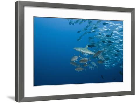 Jackfish School (Caranx-Reinhard Dirscherl-Framed Art Print