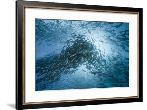 Large School of Rudderfish Laying Eggs in Open Water (Kyphosus Cinerascens)-Reinhard Dirscherl-Framed Art Print