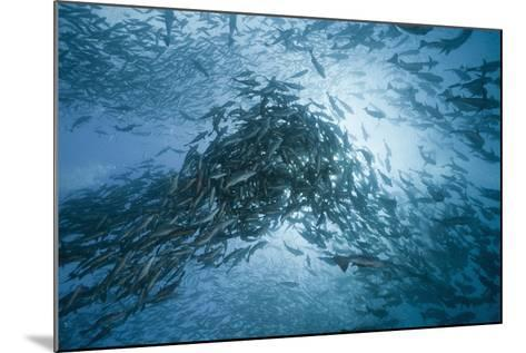 Large School of Rudderfish Laying Eggs in Open Water (Kyphosus Cinerascens)-Reinhard Dirscherl-Mounted Photographic Print