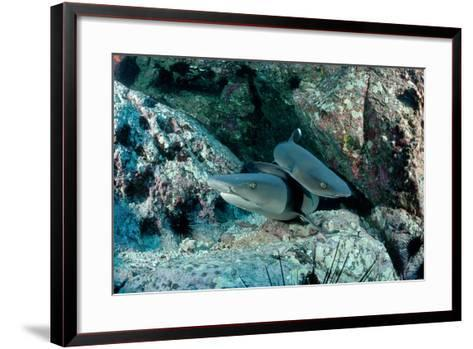 Hunting Whitetip Reef Sharks (Triaenodon Obesus), Central America, Pacific Ocean.-Reinhard Dirscherl-Framed Art Print