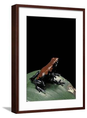 Adelphobates Galactonotus (Splash-Backed Poison Frog)-Paul Starosta-Framed Art Print