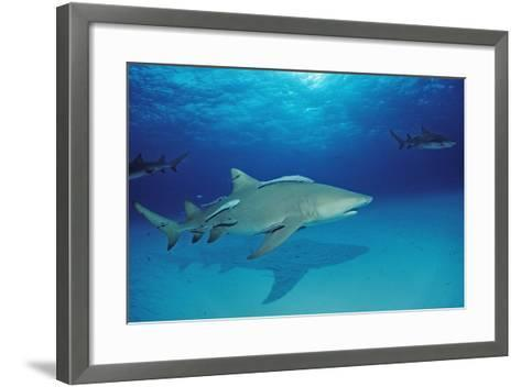 Lemon Shark, Negaprion Brevirostris, Bahamas, Grand Bahama Island, Atlantic Ocean-Reinhard Dirscherl-Framed Art Print