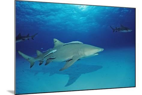 Lemon Shark, Negaprion Brevirostris, Bahamas, Grand Bahama Island, Atlantic Ocean-Reinhard Dirscherl-Mounted Photographic Print