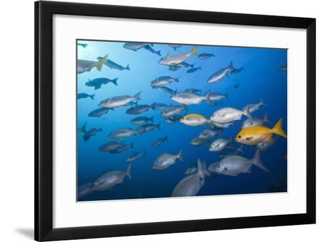 Blue-Bronze Sea Chub (Kyphosus Analogus) and Yellow Sea Chub (Kyphosus Lutescens) School-Reinhard Dirscherl-Framed Art Print