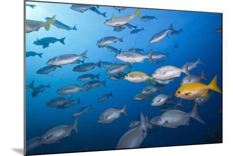 Blue-Bronze Sea Chub (Kyphosus Analogus) and Yellow Sea Chub (Kyphosus Lutescens) School-Reinhard Dirscherl-Mounted Photographic Print