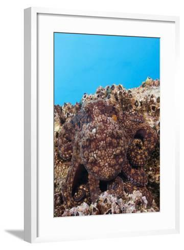 Common Octopus Camouflaged (Octopus Vulgaris)-Reinhard Dirscherl-Framed Art Print