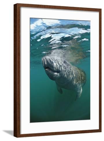 West Indian Manatee, Trichechus Manatus Latirostris, Usa, Florida, Fl, Everglades-Reinhard Dirscherl-Framed Art Print