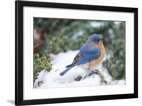 Eastern Bluebird-Gary Carter-Framed Art Print