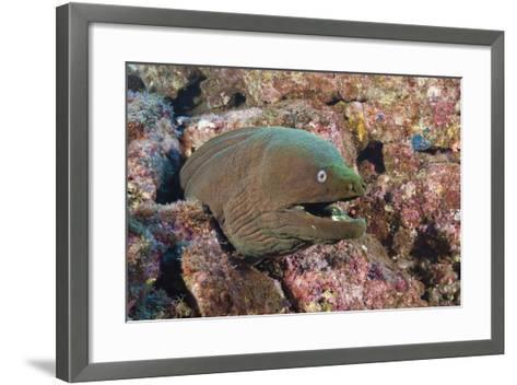 Panamic Green Moray Eel (Gymnothorax Castaneus)-Reinhard Dirscherl-Framed Art Print