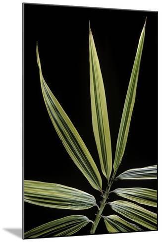 Hibanobambusa Tranquillans 'Shiroshima' (Shiro-Shima-Iny?inyouchikuzoku, Bamboo) - Leaf-Paul Starosta-Mounted Photographic Print