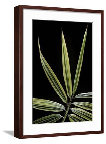 Hibanobambusa Tranquillans 'Shiroshima' (Shiro-Shima-Iny?inyouchikuzoku, Bamboo) - Leaf-Paul Starosta-Framed Art Print