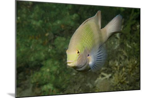Black-Axil Chromis-Hal Beral-Mounted Photographic Print