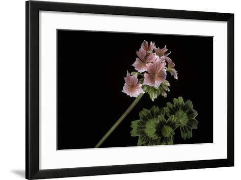 Pelargonium X Hortorum 'Stellar Rose' (Common Geranium, Garden Geranium, Zonal Geranium)-Paul Starosta-Framed Art Print
