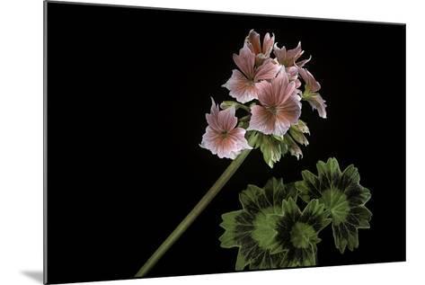 Pelargonium X Hortorum 'Stellar Rose' (Common Geranium, Garden Geranium, Zonal Geranium)-Paul Starosta-Mounted Photographic Print