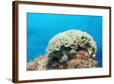 Lettuce Sea Slug, Tridachia Crispata, Netherlands Antilles, Bonaire, Caribbean Sea-Reinhard Dirscherl-Framed Art Print