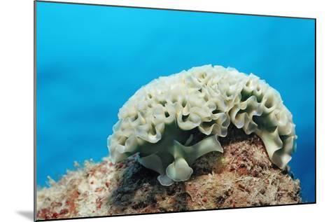 Lettuce Sea Slug, Tridachia Crispata, Netherlands Antilles, Bonaire, Caribbean Sea-Reinhard Dirscherl-Mounted Photographic Print