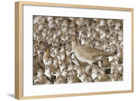 Willet with Shell in its Bill Surrounded by Western Sandpipers-Hal Beral-Framed Art Print