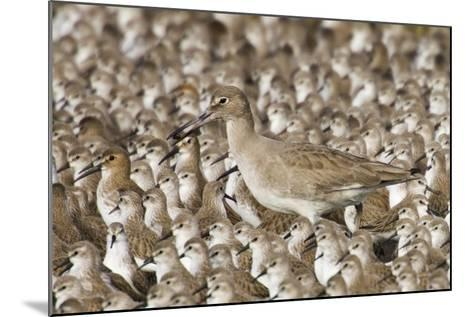 Willet with Shell in its Bill Surrounded by Western Sandpipers-Hal Beral-Mounted Photographic Print