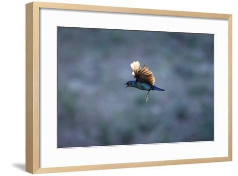Cape Glossy Starling in Flight-Richard Du Toit-Framed Art Print