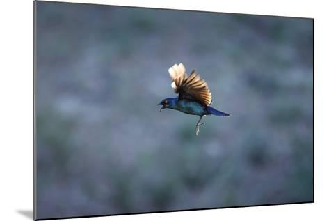 Cape Glossy Starling in Flight-Richard Du Toit-Mounted Photographic Print