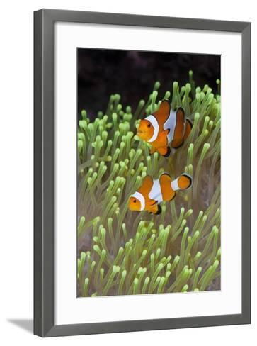 Blue Starfish on a Coral Reef (Linckia Laevigata), Alam Batu, Bali, Indonesia-Reinhard Dirscherl-Framed Art Print