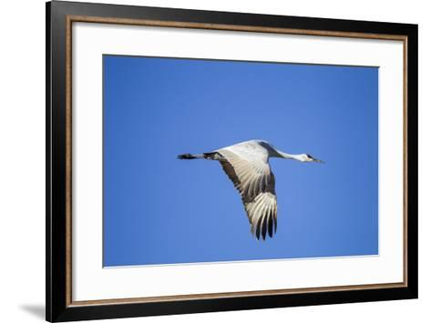 Sandhill Crane in Flight, Bosque Del Apache, New Mexico-Paul Souders-Framed Art Print