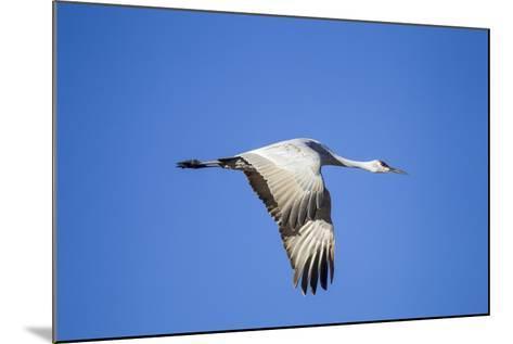 Sandhill Crane in Flight, Bosque Del Apache, New Mexico-Paul Souders-Mounted Photographic Print