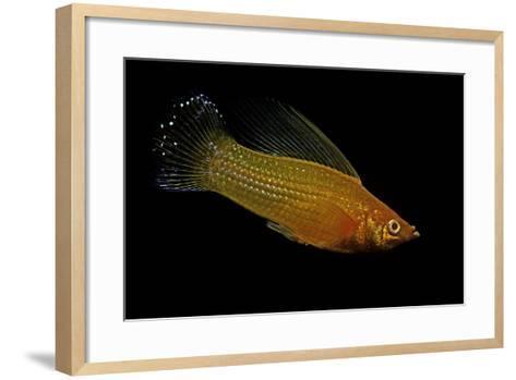 Poecilia Latipinna (Sailfin Molly)-Paul Starosta-Framed Art Print