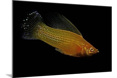 Poecilia Latipinna (Sailfin Molly)-Paul Starosta-Mounted Photographic Print