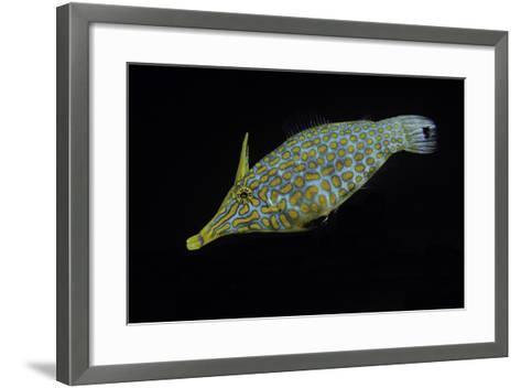 Oxymonacanthus Longirostris (Harlequin Filefish, Longnose Filefish, Orangespotted Filefish)-Paul Starosta-Framed Art Print