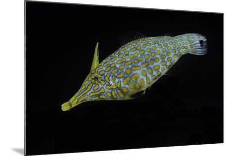 Oxymonacanthus Longirostris (Harlequin Filefish, Longnose Filefish, Orangespotted Filefish)-Paul Starosta-Mounted Photographic Print