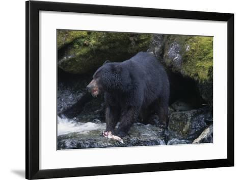 Black Bear Eating Fish in Stream-DLILLC-Framed Art Print