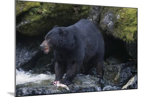 Black Bear Eating Fish in Stream-DLILLC-Mounted Photographic Print