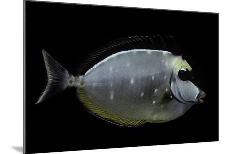 Naso Lituratus (Orangespine Unicornfish, Barcheek Unicornfish, Clown Tang)-Paul Starosta-Mounted Photographic Print