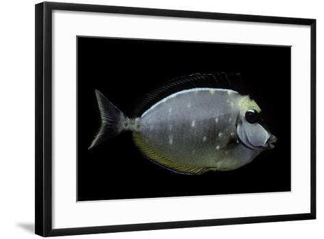 Naso Lituratus (Orangespine Unicornfish, Barcheek Unicornfish, Clown Tang)-Paul Starosta-Framed Art Print