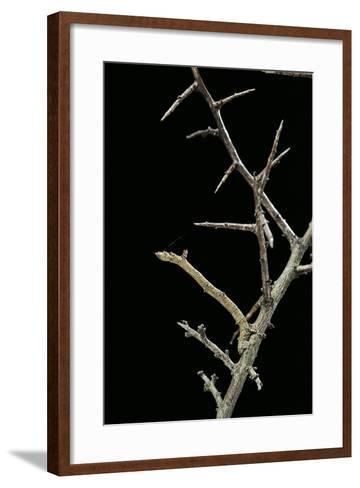 Ennomos Sp. (Thorn Moth) - Caterpillar or Inchworm Camouflaged on Twigs-Paul Starosta-Framed Art Print