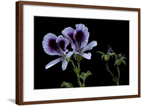 Pelargonium X Domesticum 'Spring Park' (Regal Geranium)-Paul Starosta-Framed Art Print