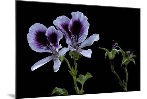 Pelargonium X Domesticum 'Spring Park' (Regal Geranium)-Paul Starosta-Mounted Photographic Print