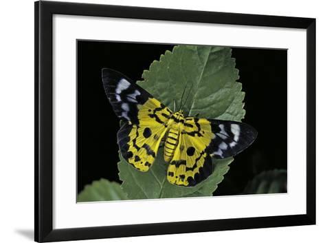 Dysphania Sp. (Moth)-Paul Starosta-Framed Art Print