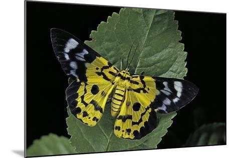 Dysphania Sp. (Moth)-Paul Starosta-Mounted Photographic Print