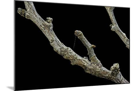 Gnophos Sp. (Annulet) - Caterpillar or Inchworm Camouflaged on Twig-Paul Starosta-Mounted Photographic Print