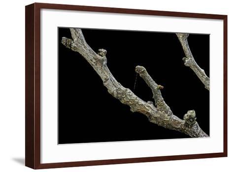 Gnophos Sp. (Annulet) - Caterpillar or Inchworm Camouflaged on Twig-Paul Starosta-Framed Art Print